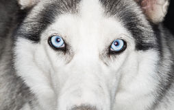 Close-up shot of husky dog Royalty Free Stock Photography
