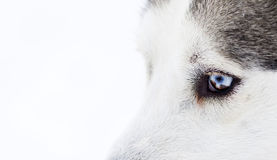 Close-up shot of husky dog blue eyes Royalty Free Stock Photos
