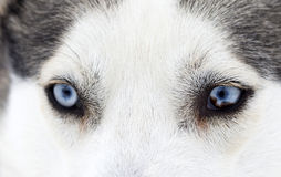 Close-up shot of husky dog blue eyes Stock Photos