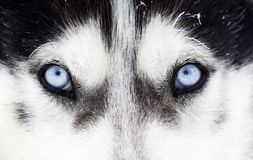 Close-up shot of husky dog blue eyes Royalty Free Stock Photo