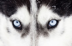 Close-up shot of husky dog blue eyes Stock Image