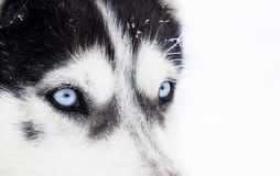 Close-up shot of husky dog blue eyes Stock Photography