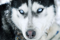 Close-up shot of husky dog Royalty Free Stock Photo
