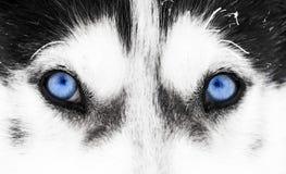 Close-up shot of husky dog's blue eyes Stock Photo