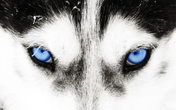 Close-up shot of a husky dog's blue eyes. Close up on blue eyes of a husky dog Stock Photos
