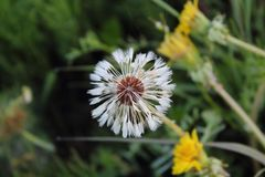 Close-up image of a white Dandelion stock images