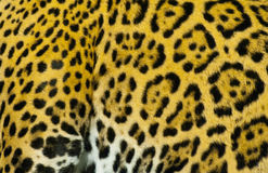 Jaguar' Fur Royalty Free Stock Photos