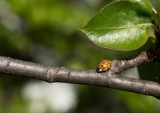 Close up shot ladybug on a tree branch. stock images
