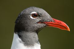 A close up shot of a Laughing Gull Royalty Free Stock Image