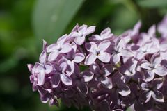 Close up shot of lilac in the sun royalty free stock images