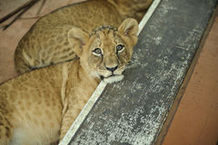 A close up shot of a Lion Cub Royalty Free Stock Photography