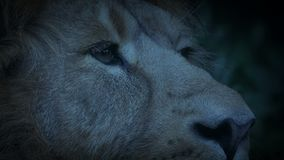 Lion Pricks Ears Up At Dusk. Close-up shot of a lion pricking its ears up in the evening stock video footage