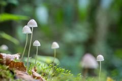 Close-up shot of little Mycena mushrooms in forest Stock Images