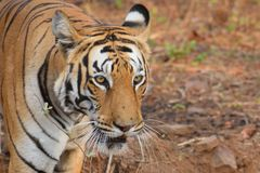 Close up shot of the majestic Royal Bengal tiger at Tadoba tiger reserve, India. While in jeep safari through the Tadoba tiger reserve In India, managed to get a royalty free stock image