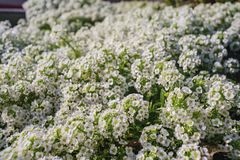 Close up shot of many beautiful Sweet alyssum. With water drops at Los Angeles Royalty Free Stock Image