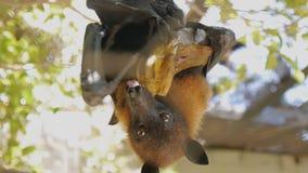 Close-up shot of megabat eating banana hanging upside down. Close-up shot of megabat eating banana hanging upside down stock footage