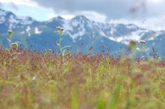 Wildflowers and Mountains stock image