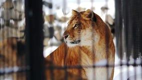 Close up shot of Mom and cub-liger
