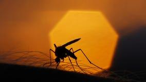 Mosquito blood sucking on human skin on sun background stock video