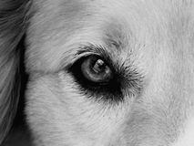 The Eye Of Mans Best Friend B/W Royalty Free Stock Photography