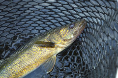 Close up shot of nice walleye in a fishing net Stock Photos