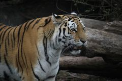 Free Close Up Shot Of Siberian Tigress Stock Photos - 132568213