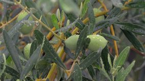 Olive tree branch is wet from rain. Close-up shot of olive tree on rainy day. Wet branch with fruit and pure raindrops on the leaves stock footage