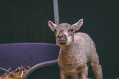 Close up shot of a baby lamb. Close up shot of one baby lamb standing up against a black background stock photos