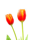 Close up shot of orange tulips . Stock Photography