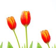 close up shot of orange tulips . Royalty Free Stock Photo