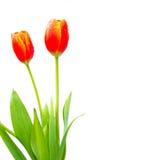 Close up shot of orange tulips . Royalty Free Stock Image