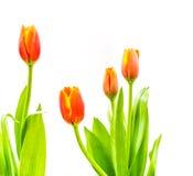 close up shot of orange tulips . Stock Images