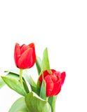 close up shot of orange tulips . Royalty Free Stock Photography
