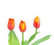 Close up shot of orange tulips . Royalty Free Stock Images