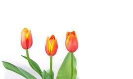 Close up shot of orange tulips . Stock Photo