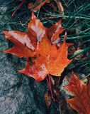 Close up shot of orange wet maple leaves lie on ground after rain. Autumn concept. Foliage on green grass. Outdoor vertical shot stock photo