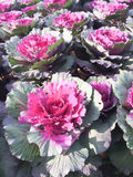 Close-up shot of ornamental cabbages Stock Photos