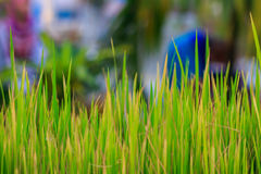 Close up shot on a paddy grass. Stock Photography