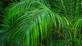 Close-up shot of palm leaf, vegetable life with long leaves. stock footage