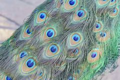 Close up shot of a peacock\'s fan Stock Image