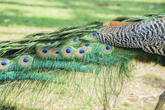 Close up shot of a peacock's fan Royalty Free Stock Photography