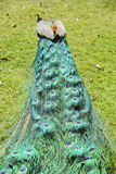 Close up shot of a peacock's fan Royalty Free Stock Image