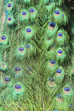 Close up shot of a peacock's fan Stock Image