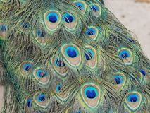 Close up shot of a peacock\'s fan Royalty Free Stock Photo