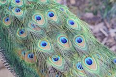 Close up shot of a peacock\'s fan Stock Photography