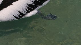 Pelican`s feet on the ocean. A close up shot of a pelican`s feet on the ocean. Camera tracks the movement of the pelican stock footage