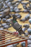 Pigeon Of Jaipur. Close up shot of pigeon at Jaipur,Feeding pigeons is a traditional daily ritual of Jaipur over 250 years stock images