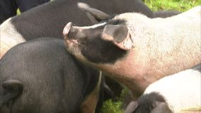 Pigs eating apples. A close up shot of pigs eating apples from the ground stock video