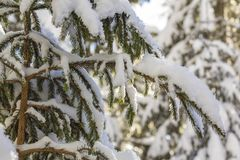 Close-up shot of pine tree branche with green needles covered with deep fresh clean snow on blurred blue outdoors copy space stock image