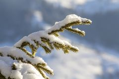 Close-up shot of pine tree branche with green needles covered wi royalty free stock photography